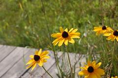 (e.hyder) Tags: flower vermont blackeyedsusan