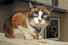 am I not beautiful? (tallship80) Tags: cats eyes siamese gatos ojos felines kissablekat ceeceethegreat