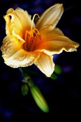 """Yates Garden Yellow Bloom (mbtphoto (away a lot)) Tags: light nature garden paths naturesfinest golddragon 10millionphotos betterthangood dragongoldaward ~nature wonderfulworldofmacro wonderfulworldofflowers macrosdenaturaleza auniverseofflowers awesomeblossoms florcaulepetalaefolha natureisallallisnature ✿flowers✿ yatesgarden bellísimacaptura"""""""