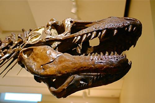 Daspletosaurus torosus (skull)