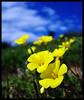 Silvestre1 (Errlucho) Tags: chile flores flower flor amarillo campo ramo petalos goldstaraward errlucho