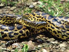 About Snake (Sachin Tomar's) Tags: snakesofindia indiansnakesindiansnakes typesofindiansnakes snakeinindia