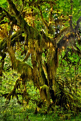 An Epiphytic Episode in the Hoh Rain Forest (Fort Photo) Tags: park vacation fern green nature rain forest landscape outdoors washington moss nikon hoh rainforest pacific northwest nps national pacificnorthwest wa lichen olympic np lush ferns olympicnationalpark pnw epiphytes mosses epiphytic hohrainforest d300 naturesfinest temperate bigleafmaple 2008reunionnature primevalforestgroups pfmoss pfmossmonster
