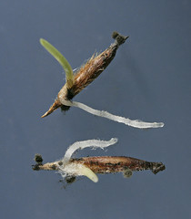 Figure 4 - Mouldy seeds of Austrostipa flavescens (Poaceae) sprouting.