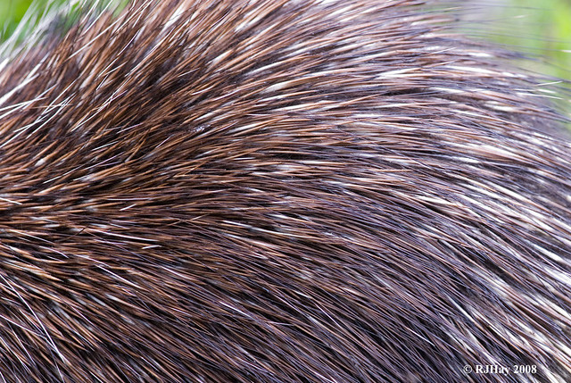 Porcupine hair and short quills on back