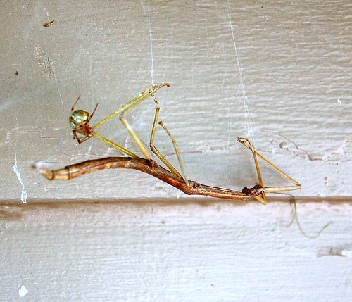 walkingstick and spider