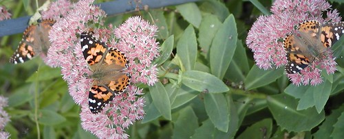 butterflies9-18-08x
