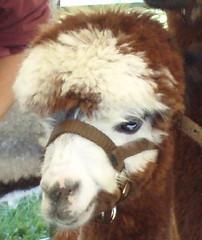 cutest alpaca.