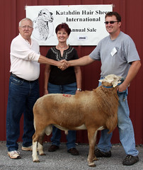 High selling Katahdin ram