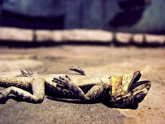 Lizard (Yotam Rozin) Tags: crimson dead outdoors death king lizard