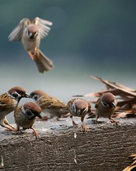 """MAKE WAY!..."" (jimpg2_Peace Group Moderator Needed) Tags: fab brown bird nature flickrsbest platinumphoto aplusphoto visiongroup theunforgettablepictures picturefantastic damniwishidtakenthat vision100 artofimages bestcaptureaoi"