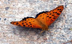 orange (xeno(x)) Tags: orange color macro art nature canon butterfly asia 2008 xeno bej 40d mywinners magicdonkeysbest
