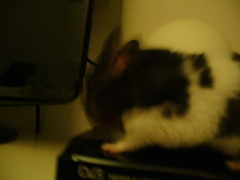 Paparazzi! (Hamsterparadise) Tags: hamsters