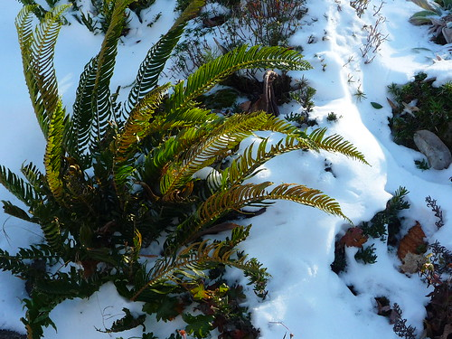 frozen ferns