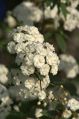 Bridal Wreath (David.Keith) Tags: flowers blooms canonrebelxt bridalwreath