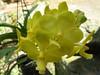 yellow vanda (cskk) Tags: orchid flower yellow orchidaceae vanda hybrid vandaenopsis taxonomy:kingdom=plantae taxonomy:family=orchidaceae geo:country=australia