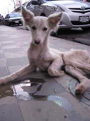 Granada, Nicaragua - Angel in the street (ashabot) Tags: travel angel granada nicaragua centralamerica streetdogs homelessdogs casalupita