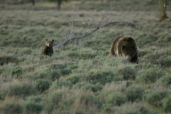 Grizzly and Cubs 1 (Christopher J May) Tags: bear canond60 yellowstonenationalpark cubs grizzlybear yellowstonetrip2006 dpreviewmeetngreet tamronsp200500mmf563ldif