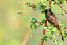 Red-vented Bulbul (nurur) Tags: bird river dam bangladesh bulbul redventedbulbul redvented muhuri nurur muhuridam muhuririver