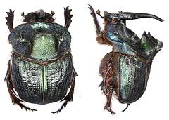 Coprophanaeus ensifer Germar, 1821 male (urjsa) Tags: southamerica insect beetle paraguay kfer coleoptera scarabaeidae sdamerika taxonomy:order=coleoptera taxonomy:family=scarabaeidae coleopteraus ensifer coprophanaeus taxonomy:genus=coprophanaeus geo:country=paraguay coprophanaeusensifer taxonomy:binomial=coprophanaeusensifer taxonomy:species=ensifer