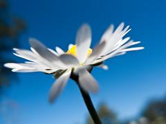 Basking Daisy (kaoni701) Tags: goldengatepark blue sky white flower macro green nature lumix san francisco bokeh vibrant vivid daisy lightroom flickrific ourplanet lx3 platinumheartawards lumixaward macroelite