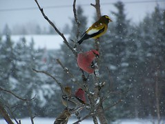 Friends (Lily C.) Tags: winter friends snow canada cold home forest hiver country newbrunswick snowing neige froid branche pinegrosbeak eveninggrosbeak grosbec durbecdessapins lilyc golddragon