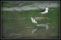 black winged stilts.... male and female... villages of amritsar, punjab (click-n-joy!) Tags: travel wedding portrait india bird fashion birds portraits canon studio children photography bride engagement artist photographer personal photos delhi birding creative photojournalism documentary marriage best event commercial portraiture catalog bridal occasion amritsar glamor avian swati agarwal faridabad birdsofindia commonbirds blackwingedstilts passionateaboutphotography swatiagarwalmishra justartfromtheheart birdsofnorthindia avianshots clicknjoy swatiagarwal swatimishra delhiandamritsar photosofnorthindia niftdropout ommyzmommy swatiagarwalphotography