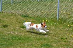 Cody running (Pappup2010) Tags: dog pet cute animal butterfly puppy toy small sable canine running papillon pup breed pap toybreed butterflydog whiteandsable