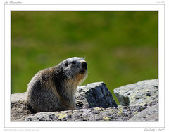 Marmottes du Sancy (BerColly) Tags: france google flickr auvergne marmots sancy puydedome superbesse marmottes nikkor300f4 bercolly