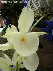 Catasetum pileatum 'Oro Verde' (Sylvio-Orquídeas) Tags: orquídeas orchids orchidaceae flores flowers catasetum pileatum macro