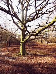 Stark Green Tree ( Angel of light ) Tags: winter tree green woodland bare arbor stark arbour angeloflight2009