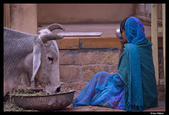 We eat together my friend (Dan Wiklund) Tags: city portrait urban woman india animal cow alley eating jaisalmer rajasthan d800 2013