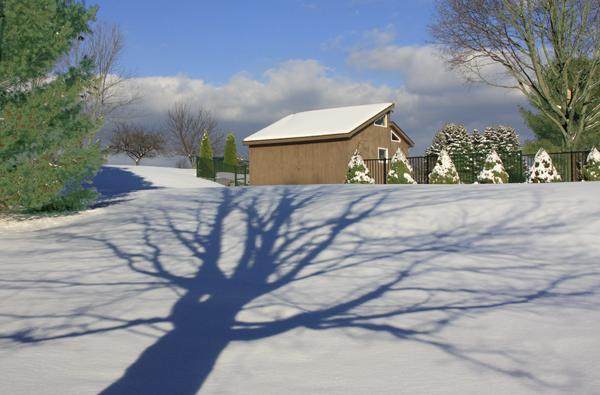 maple on the snow