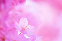 SAKURA - Spring Delight