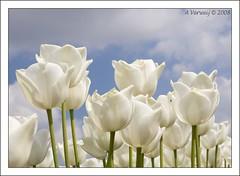White and Blue (Alex Verweij) Tags: sun white macro alex clouds fly bravo tulip noordoostpolder wit bollen tulp bollenvelden fantasticflower abigfave impressedbeauty aplusphoto diamondclassphotographer flickrdiamond theunforgettablepictures canon40d goldstaraward flickrlovers auniverseofflowers awesomeblossoms bbng