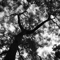 Quercus serrata.. (F_blue) Tags: tokyo kodak tripod hasselblad nd koganeipark 500cm  plusx125 onawindyday planart c8028 fblue2008