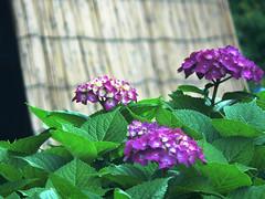 Hydrangea (gleybird) Tags: flower hydrangea diamondclassphotographer flickrdiamond theunforgettablepictures hylmike