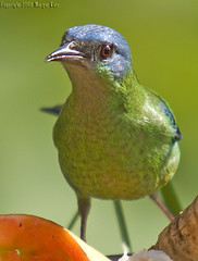 sa-azu ( femea)l/Blue Dacnis (female) (margot_k_castro) Tags: bird brasil saopaulo natureza salve birdwatcher naturelovers bluedacnis guararema dacniscayana a saazul abigfave flickrenvy diamondclassphotographer flickrdiamond theunforgettablepictures platinumheartaward theperfectphotographer goldstaraward qualitypixels planetaterraeseusanimaisincrveis natureandnothingelse