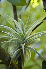 (Joice Dahlke) Tags: macro verde folhas brasil cores plantas natureza santacatarina fotografia bromelia florianpolis