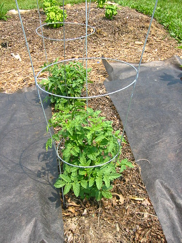 Recovered cherry tomato plants
