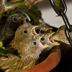 still getting fed (very1silent) Tags: bird nest feeding wildlife finch pottedplant housefinch carpodacusmexicanus carpodacus hangingplant nestling mexicanus strobist specanimal specanimalphotooftheday lighting102 workthatcto