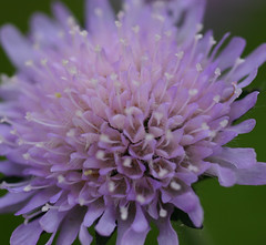 Blomst (fotomormor) Tags: flower blomster lilla