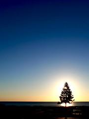 Norfolk Pine (Mowling) Tags: old sunset sea colour tree up pine one coast twilight glow glare dusk south horizon norfolk australia coastal adelaide backlit another lit semaphore mowling shannonmowling