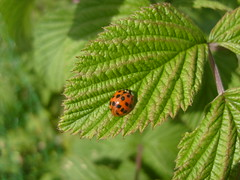 ladybird (dandavie) Tags: macro nature animals leaf insects bugs ladybird