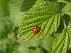 ladybird (dandavie) Tags: macro nature animals leaf insects bugs ladybird