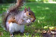 """Nothing important happend today"".....lol...and Happy Furry Friday..:O))) (law_keven) Tags: england brown green london nature grass animals furry squirrel greenwich greenwichpark platinumphoto diamondclassphotographer flickrdiamond damniwishidtakenthat"
