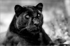 Panther (andrewwdavies) Tags: england blackandwhite white black monochrome project mono focus soft explore leopard breeding softfocus captive effect frontpage rare bigcats hertfordshire captivity orton blackpanther welwyngardencity canonef50mmf14usm santago pantherapardus canonextenderef14xii explored melanism canonef70200mmf28lisusm canonextenderef2xii canoneos40d andrewwilliamdavies