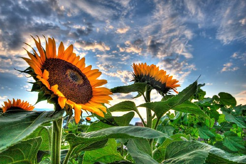 Sunflower_HDR_1