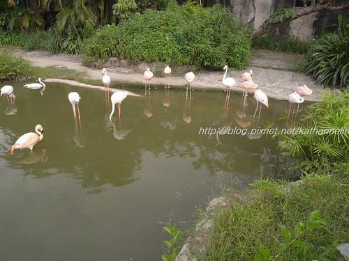 你拍攝的 8粉紅鶴。