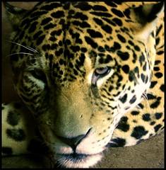 Sad (.Carter.) Tags: woodlandparkzoo woodland park zoo animal canonrebelxti canon rebel xti wa seattle washington jaguar abigfave best bestofthebest infinestyle vosplusbellesphotos
